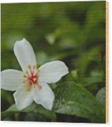 Tung Flower On Tea Tree Wood Print
