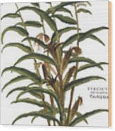 Turkish Corn, 1735 Wood Print