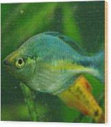 Turquoise Rainbowfish 2 Wood Print