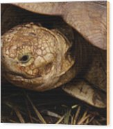 Turtle Closeup Wood Print