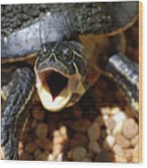 Turtle With His Mouth Wide Open  Wood Print