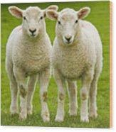 Twin Lambs Wood Print by Meirion Matthias