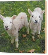 Twins - Spring Lambs Wood Print