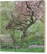 Twisted Cherry Tree In Central Park Wood Print