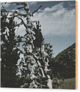 Twisted Whitebark Pine Tree - Crater Lake - Oregon Wood Print by Christine Till