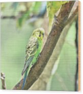 Two Adorable Budgie Parakeets Living In Nature Wood Print