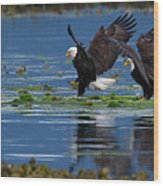 Two American Bald Eagle Touching Down At Low Tide Wood Print