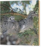 Two Baby Morning Dove's Wood Print