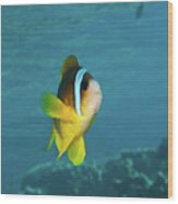 Two-banded Clownfish Wood Print