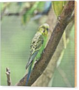Two Beautiful Yellow Parakeets In A Tree Wood Print
