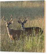 Two Black-tailed Deer In Meadow Grass Wood Print
