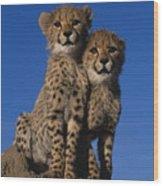Two Cheetah Cubs Wood Print
