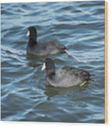 Two Coots Wood Print