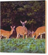 Two Doe And One Buck Wood Print
