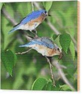 Two Eastern Bluebirds Wood Print