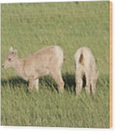 Two Ewes In The Badlands Wood Print