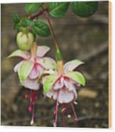 Two Fushia Blossoms Wood Print by Douglas Barnett