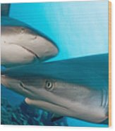 Two Gray Reef Sharks Wood Print by Dave Fleetham - Printscapes