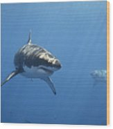 Two Great White Sharks Wood Print