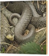 Two Intertwined Grass Snakes Lying In The Sun Wood Print