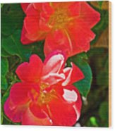 Two Joseph's Coat Roses At Pilgrim Place In Claremont-california Wood Print