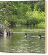 Two Loons Near Old Stump Wood Print