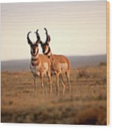 Two Male Pronghorn Antelopes In Alberta Wood Print