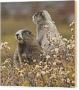 Two Marmots Wood Print