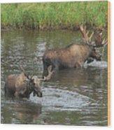 Two Moose Feeding Wood Print