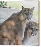 Two Mountain Lions Wood Print