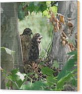 Two Red Shouldered Hawk Chicks Calling Mom  Wood Print
