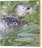 Two Seal Swimming Nature Scene Wood Print