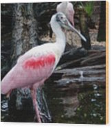 Two Spoonbills Wood Print