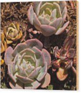 Two Succulents  Wood Print