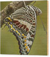 Two Tailed Pasha Butterfly Wood Print