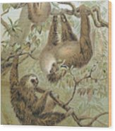 Two-toed Sloth Wood Print
