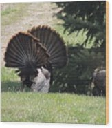 Two Tom Wild Turkeys Sparring To Impress A Hen Wood Print