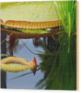 Two Victoria Water Lilypads Wood Print