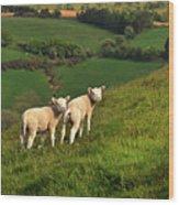 Two Welsh Lambs Wood Print