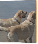 Two Yellow Labs Wait In Anticipation Wood Print