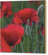 Umbria Poppies Wood Print