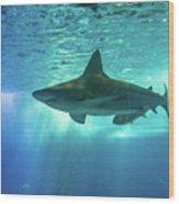 Underwater White Shark Wood Print