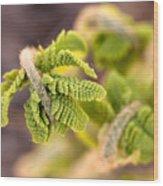 Unfolding Fern Leaf Wood Print