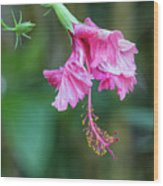 Unfolding Of A Hibiscus Wood Print