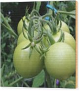 Unripe Cherry Tomatoes  Wood Print