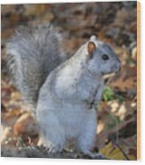 Unusual White And Gray Squirrel Wood Print