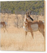 Utah Pronghorn Wood Print