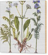 Valerian Flowers, 1613 Wood Print