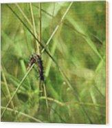 Vanessa Atalanta Red Admiral Butterfly Larvae Wood Print