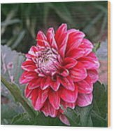 Variegated Colored Dahlia Wood Print